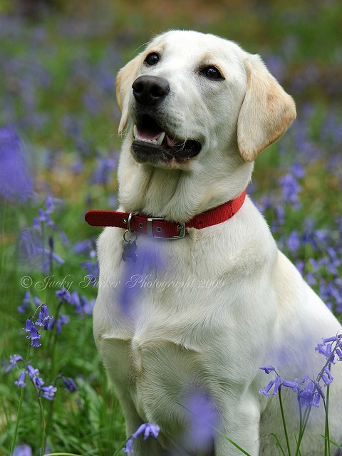 Blue Bells and Daisy by Jacky Parker - Pinned from I guess Jacky Parker - Gorgeous female lab...