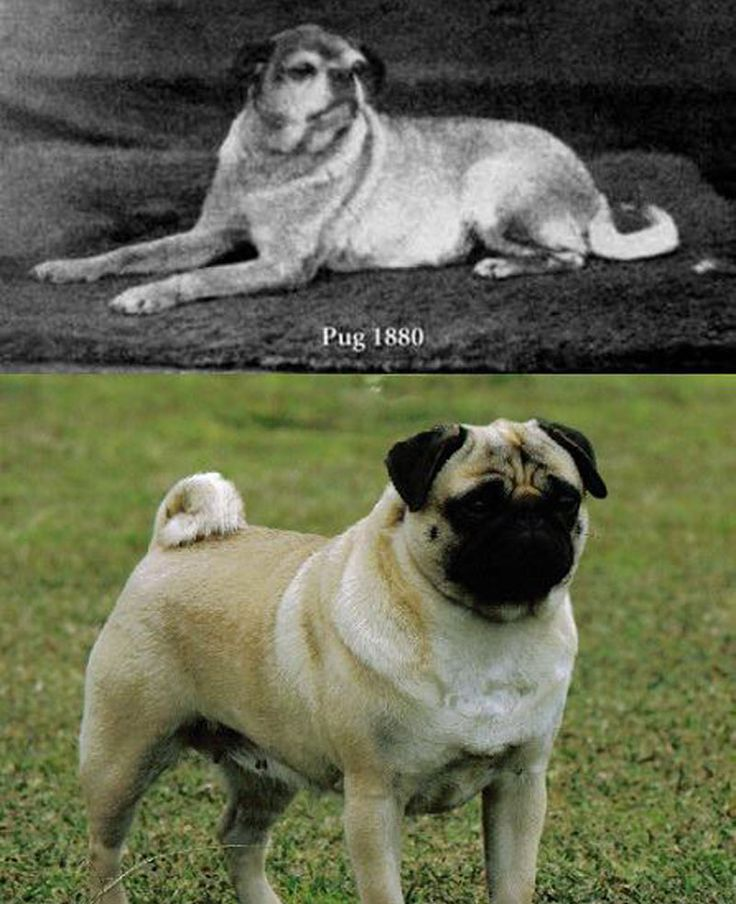 http://talesmaze.com/wp-content/uploads/2015/01/What-pugs-looked-like-before-selective-breeding.jpg