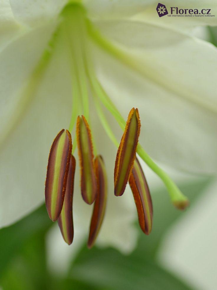 LILIUM OR SIBERIA http://www.florea.cz/lilium-1 #lilium #flowers