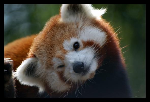 No facts with this one; it's a winking Red Panda. It doesn't need a reason :P