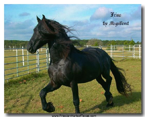fps friesian stallions, dutch friesian stallions, friesian cross breeding