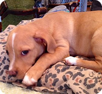 ST LOUIS, MO - Beagle/Corgi Mix. Meet Biscuits a Puppy for Adoption. Cutie!!!