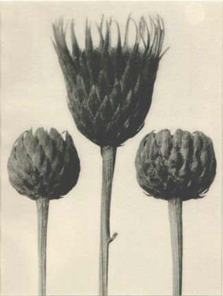Karl Blossfeldt, Serratula Nudicaulis