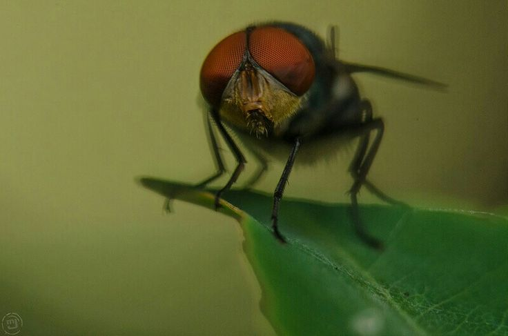 Red eyes fly