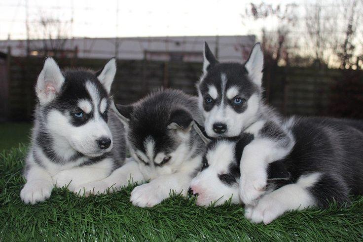 onze  Husky pups  | 2dehands.be