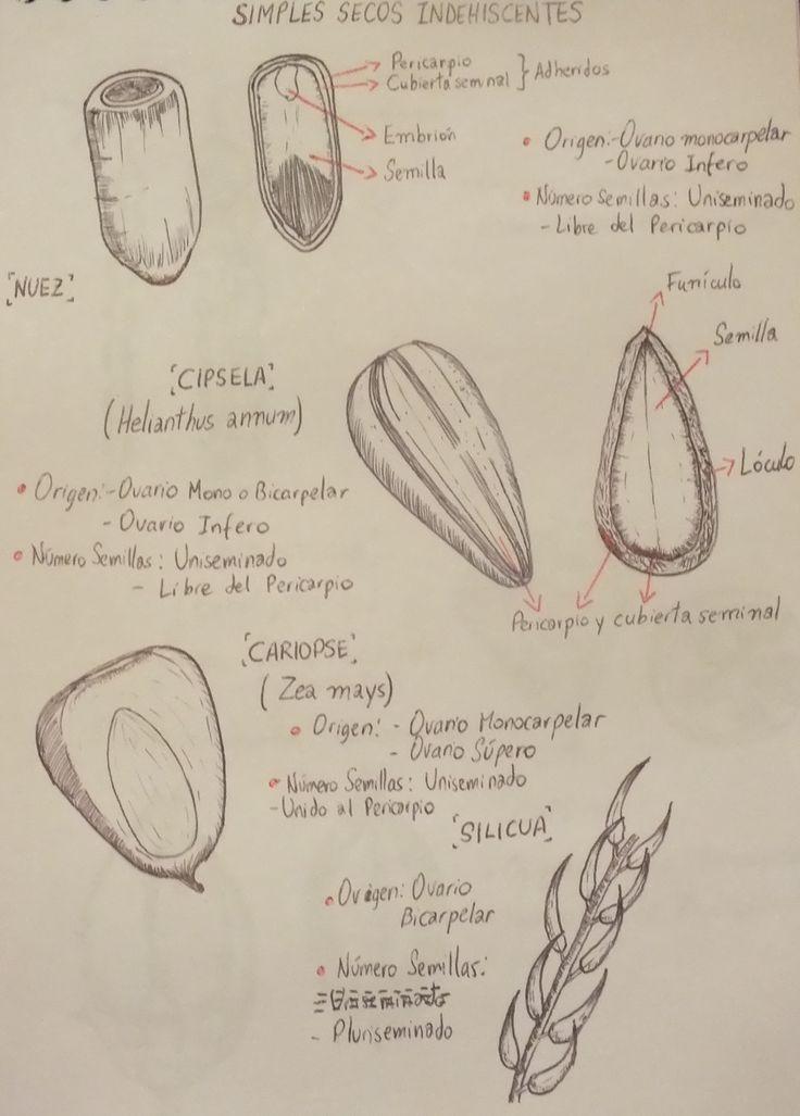 Bellota, Helianthus annuus, Zea Mays & Sílicua