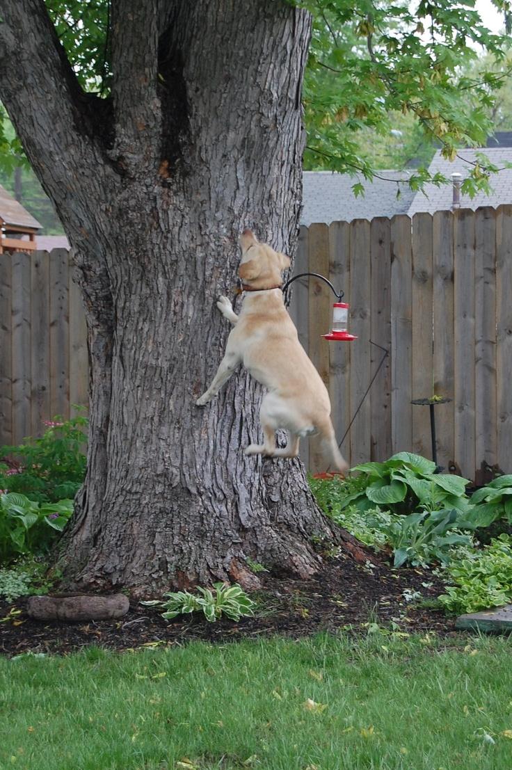 1037 best fikas family images on pinterest labrador retrievers