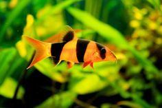 The Clown Loach Chromobotia macracanthus (also tiger Loach, tiger botia) is one of the most beautiful tank fishes from the loaches family.