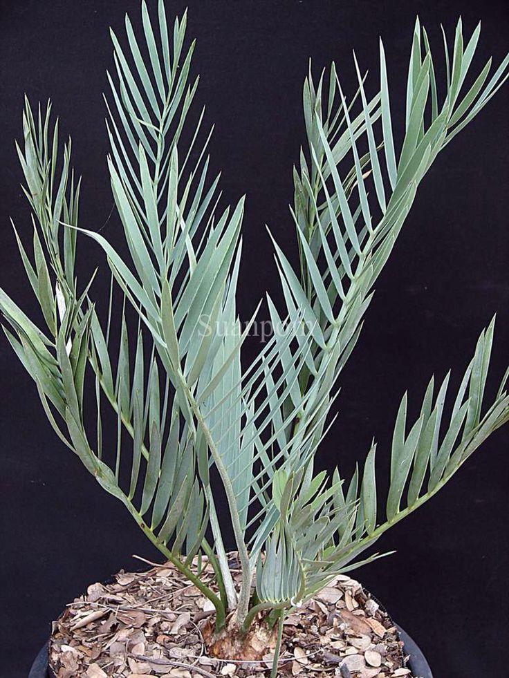 Encephalartos > middelburgensis