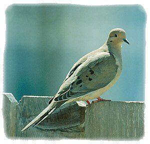 Tourterelle triste - oiseau du Québec