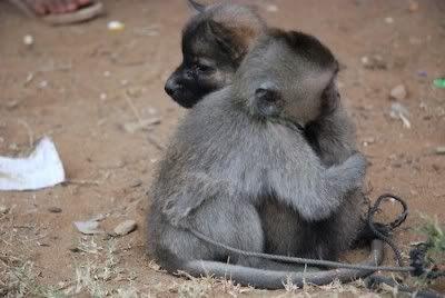 monkey dog hugs: Baby Monkey, Forever Friends, Adorable Animals, Puppys, Monkey Dog Hug, Animal Friends, Hugs Puppy
