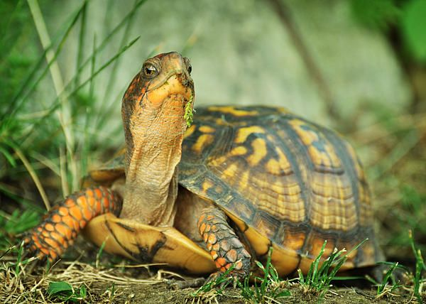Juvenile Eastern Box turtle, Terrapene c. carolina, a visitor to my backyard habitat. Photo by Rebecca Sherman.