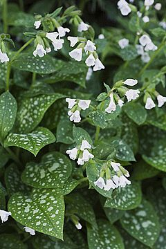 Pulmonaria officinalis - Vitblommande fläckig lungört -- Årets perenn 2008. april till maj. De är rika på nektar och lockar humlor, bin och fjärilar. Vitblommande fläckig lungört. Vanligast ´Sissinghurst White´, ´White Wings´ och ´Ice Ballet´. Alla blir cirka 25 cm höga, har ganska mörkt grönt bladverk med silvervita fläckar och vita blommor. Halvskuggiga till skuggiga partier.