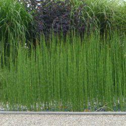 Comment planter la Prêle du Japon ?      LaPrêle du Japona le Label Leaderplant. C'est une jolie plante de berge d'une espèce ancienne qui poussait déjà dans les sous-bois il y a 100 millions d'années.L'Equisetum japonicumn'a pas de feuilles, ses tiges vertes striées de noir sont persistantes.Les tiges dela prêle du japonressemblent à des batonsde mikado.Rustique et facile à cultiver, lapreslepousse les pieds dans l'eau, en pleine terre, dans une bordure ou...