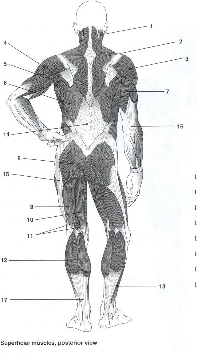 Blank Muscle Diagram to Label Unique Posterior Muscles ...