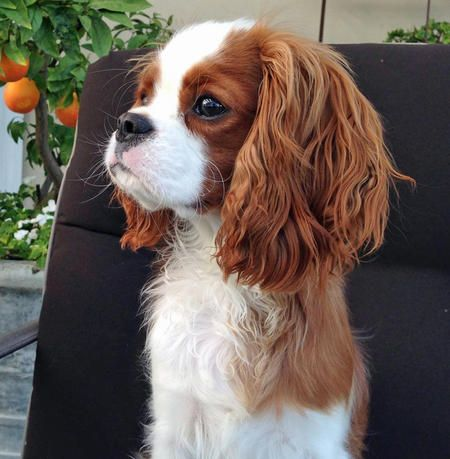 Finley the Cavalier King Charles Spaniel
