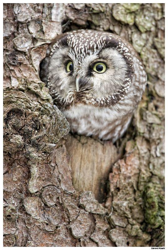 }{  Boreal owl