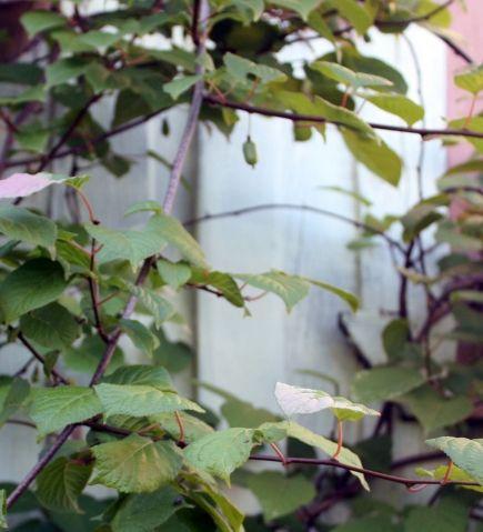 Актинидия в саду - Садоводка