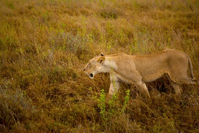Lion in the wild. http://society6.com/willhill/Lion-in-the-wild_Print