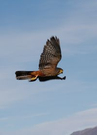 nz karearea falcon flying.jpg