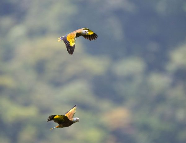 Vincy Parrots in Flight - have you ever seen anything like it? What are you waiting for!: Discover St., Eco Adventures, Magnificent Planets, Vinci Parrots, Parrots Flying