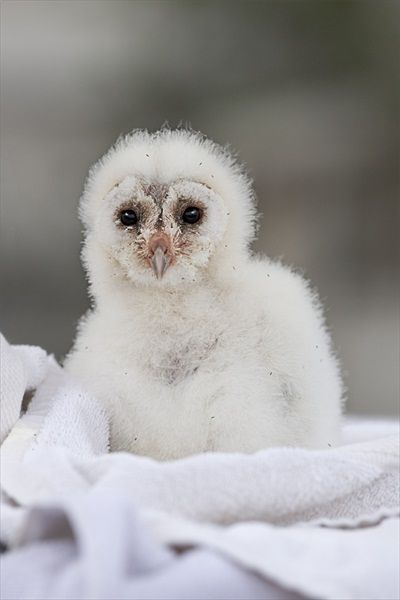 Baby barn owl | Crazy For Owls | Pinterest
