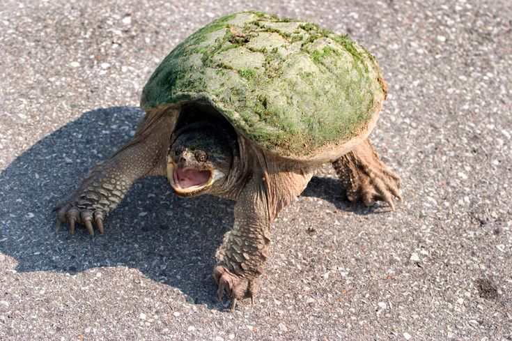a mean turtle