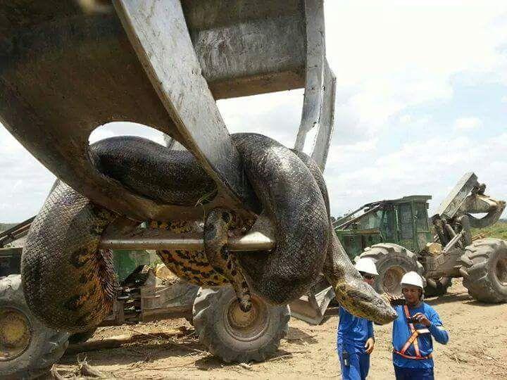 Vídeo inacreditável postado no YouTube pelo internauta Alexander Flores mostrou uma imensa cobra presa e morta na parte de trás de um caminhão, no Brasil.
