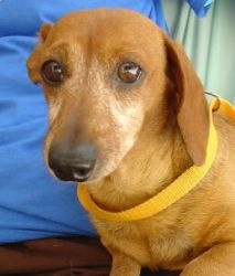 EARL is an adoptable Dachshund Dog in Sevierville, TN. In spite of what seems to be a difficult past (considering Earl's right ear has been mauled or chewed off) this little 7 year old Dachshund mix s...