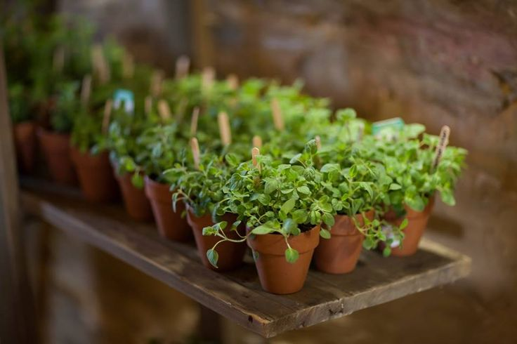 Love the Baby Herb Pot bonbonniere by Rodilesa Plant Supplies Bendigo.  Displayed on our French Ladder @ www.chateaudore.com.au