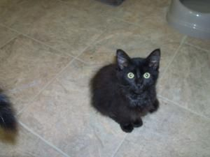 BlackJack is an adoptable Domestic Short Hair-Black Cat in Jasper, TX. BlackJack is 13 weeks old, house trained and current on his shots. BlackJack wags his tail like a little dog when you talk to him...