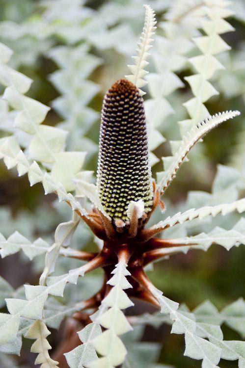 Banksia speciosa. San Francisco Botanical Garden, 09-01-12.