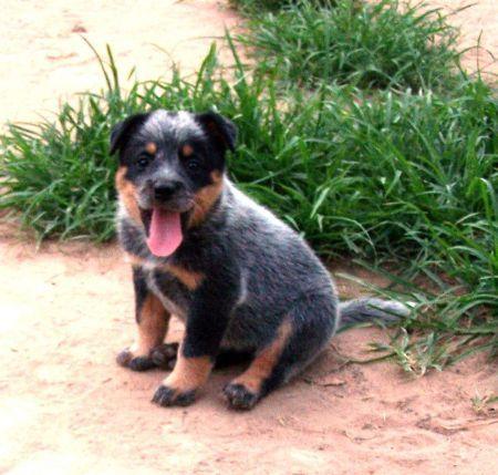 DEWREGAL AUSTRALIAN CATTLE DOGS
