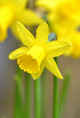 Spring Daffodils - My very favorite flower - reminds me of my Granny.