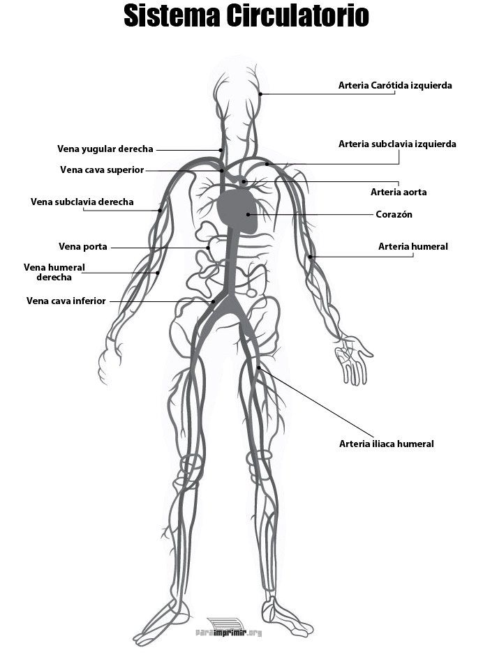 Aparato Circulatorio Para Colorear Aparato Circulatorio Aparatos El Aparato Excretor