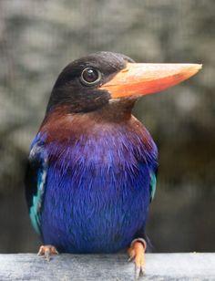 Javan Kingfisher - Halcyon cyanoventris, ID