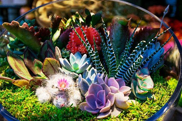 Kövirózsák, varjúháj. Dekoratív pozsgás növények minimális igénnyel