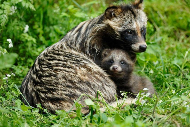 The raccoon dog (Nyctereutes procyonoides, also known as the magnut or tanuki, is a canid indigenous to East Asia. Among the Canidae, the raccoon dog shares the habit of regularly climbing trees only with the North American gray fox, another basal species. The raccoon dog is named for its resemblance to the raccoon (Procyon lotor), to which it is not closely related.