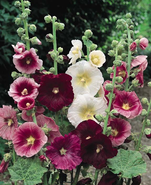 INDIAN SPRING MIX Hollyhock - Large single and semi-double flowers in shades of deep rose, pink, salmon-pink and white on 6-7 ft. plants. Once known as 'Outhouse Hollyhocks' because they were tall enough to screen what wasn't wished to be seen. Flowers the first year, from midsummer through September.