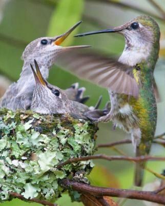 Mama hummingbird feeding babies