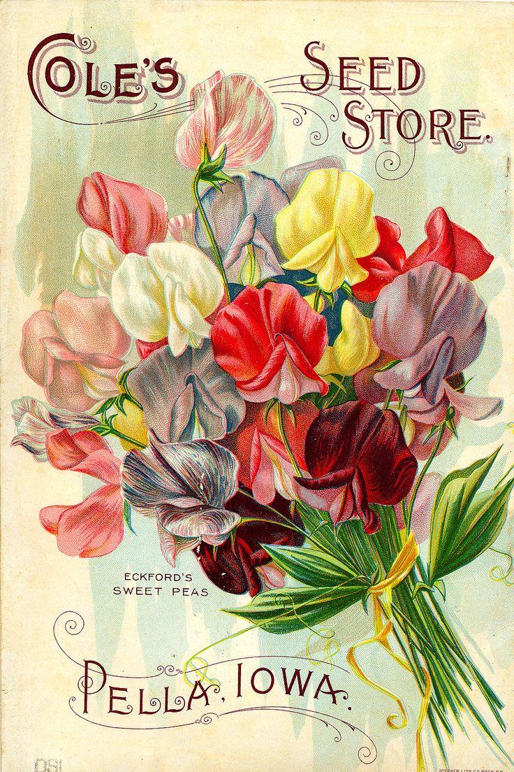 Sweet peas Vintage seed catalog