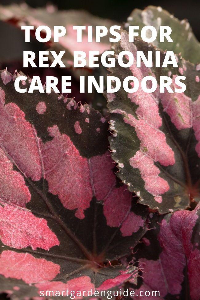 Rex Begonia Care Indoors Rex Begonias Make Wonderful Houseplants