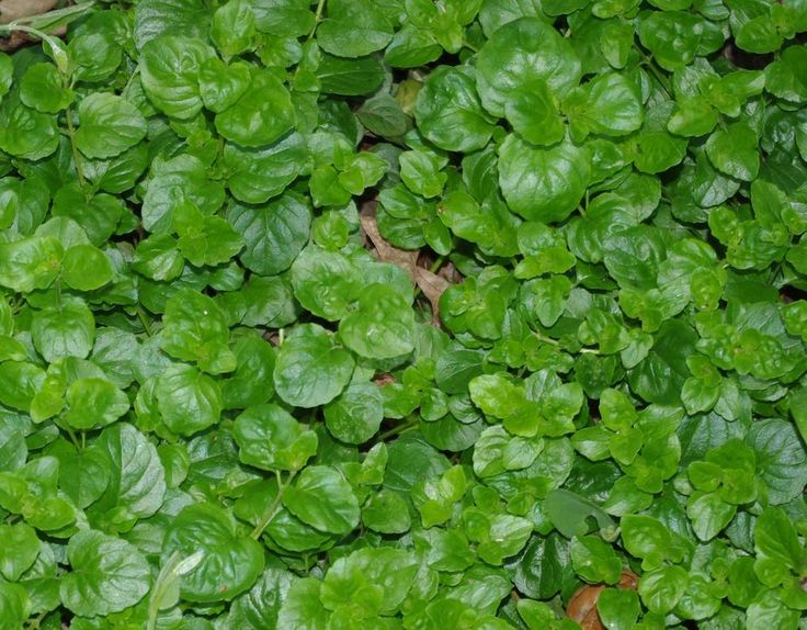 Yerba Buena, Satureja douglasii is a beautiful flat green ground cover that smells good and some use as tea.