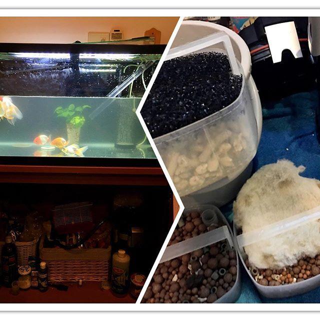 【goldfish_angel33】さんのInstagramをピンしています。 《Water change&clean filter  5メートルホースを購入し、キッチンとリビング間のバケツリレー水換えから卒業しました。注水は、浄水器がないので相変わらずバケツリレーです。1万くらいで売ってましたが、、。 これでも労力が半分になり楽になりました😂 #金魚 #水槽 #アクアリウム  #goldfish #goldfishunion #goldfishtank #aquarium #goldfishofinstagram #watertank #goldfishlover #instagoldfish #goldfishinstagram #goldfishjunkie #fancygoldfish #goldfishcommunity #fancygoldfishkeeping》