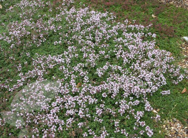 Buy thyme Thymus serpyllum 'Pink Chintz': Delivery by Crocus