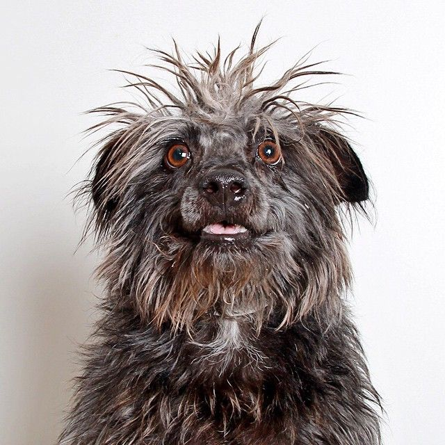 """""""Hello. You need this dog!  Malpoi is five years old and possibly a Poodle mix? He has short little legs and a personality that is just as amazing as his…"""""""