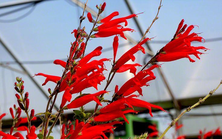 Ananassalbei (Pflanze)