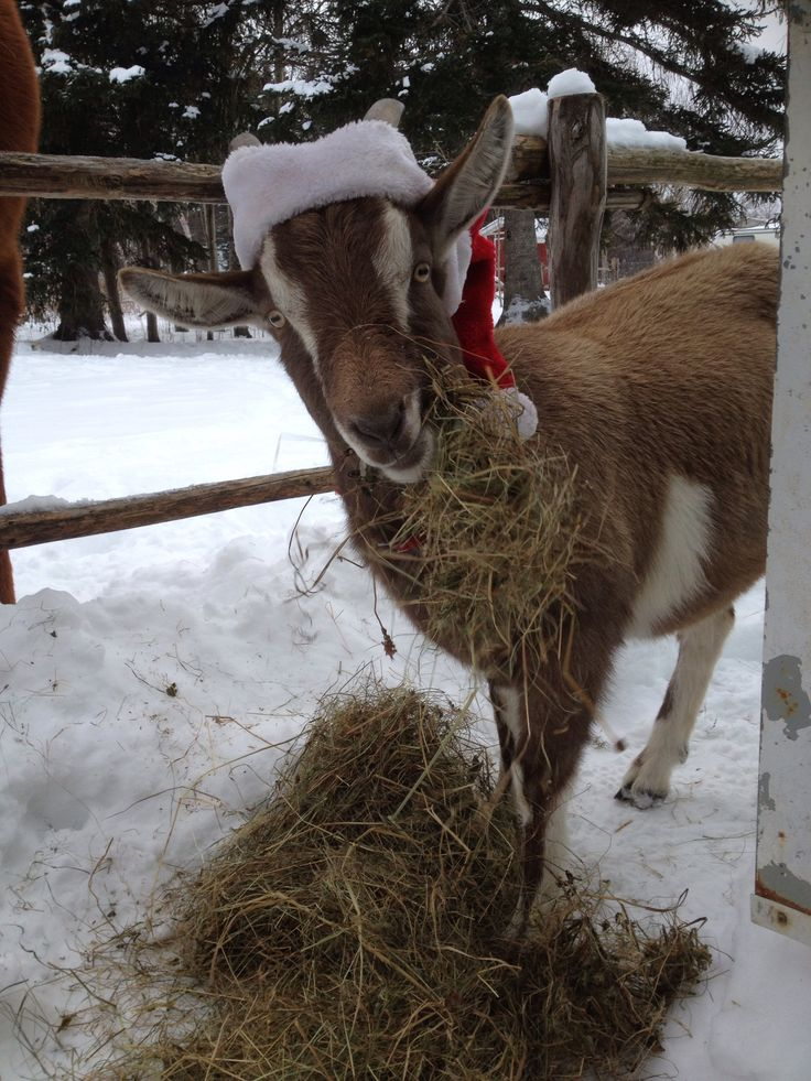 Billy the goat in his Santa hat.