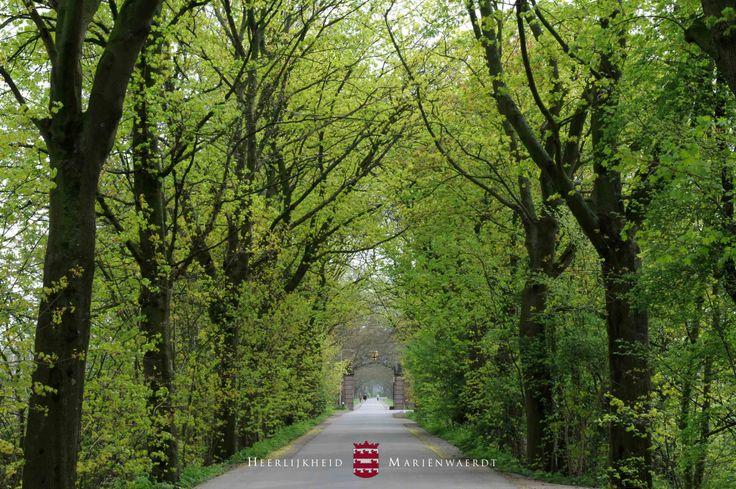 In april komen steeds meer bladeren aan de bomen, waardoor de Notenlaan op landgoed Heerlijkheid Mariënwaerdt weer een prachtige tunnel vormt. www.marienwaerdt.nl