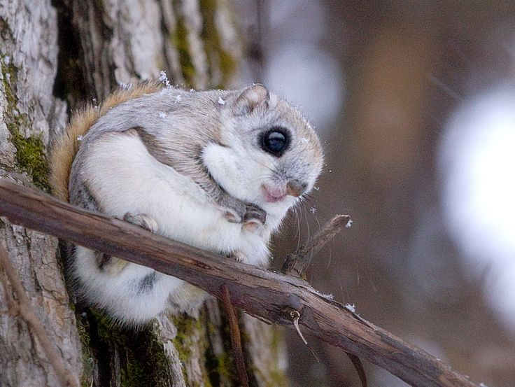 Siberian Flying Squirrel (Pteromys Volans Orii) by Hokkaido Higashikawa (March 2009): A distinctive feature of flying squirrels is the furry patagium, a flap of skin that stretches between the front and rear legs. By spreading this membrane the flying squirrel may glide from tree to tree across distances of over a hundred metres. http://en.wikipedia.org/wiki/Siberian_flying_squirrel http://ja.m.wikipedia.org/wiki/%E3%82%A8%E3%82%BE%E3%83%A2%E3%83%A2%E3%83%B3%E3%82%AC…